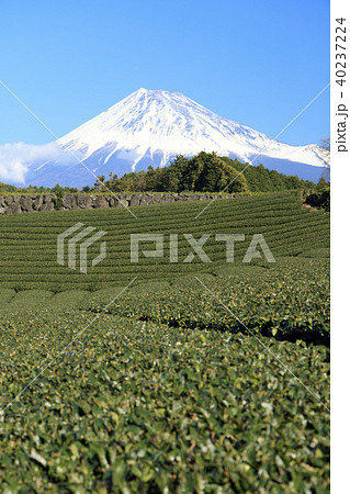絶景風景(静岡県、茶畑、冬) 40237224
