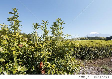 絶景風景(静岡県、茶畑、春) 40237254