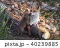 キタキツネ キツネ 親子の写真 40239885