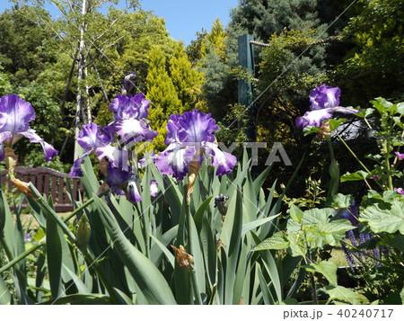 青紫と空色の大きな花はジャーマンアイリスの花 40240717