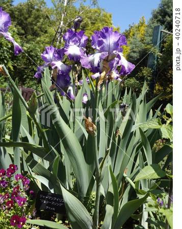 青紫と空色の大きな花はジャーマンアイリスの花 40240718