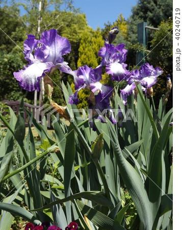 青紫と空色の大きな花はジャーマンアイリスの花 40240719
