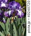 ジャーマンアイリス 花 青紫色の写真 40240720