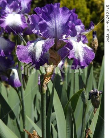 青紫と空色の大きな花はジャーマンアイリスの花 40240720