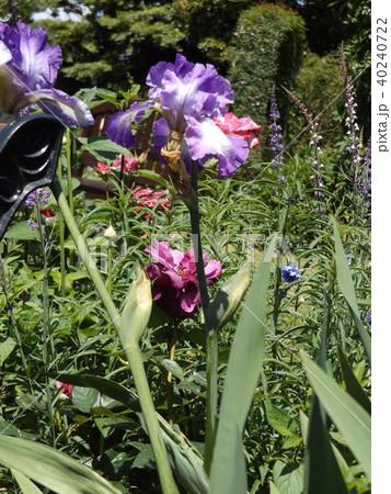 青紫と空色の大きな花はジャーマンアイリスの花 40240722