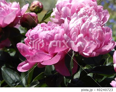桃色のゴージャスな花シャクヤク 40240723