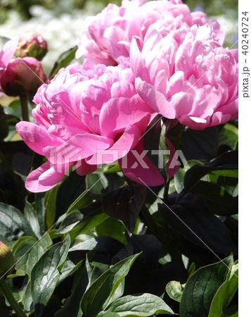 桃色のゴージャスな花シャクヤク 40240724