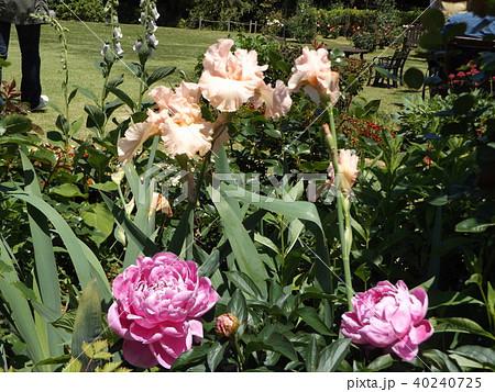 白色のジャーマンアイリスと桃色のゴージャスな花シャクヤク 40240725