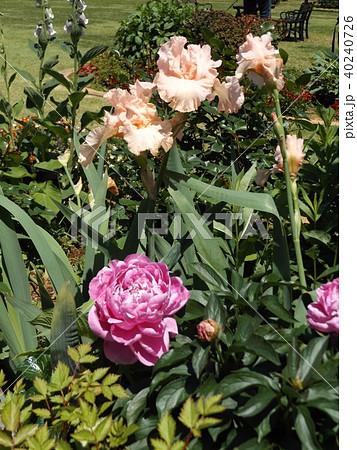 白色花のジャーマンアイリスと桃色のゴージャスな花シャクヤク 40240726