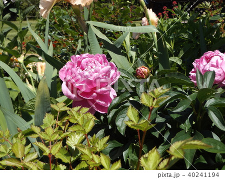 桃色のゴージャスな花シャクヤク 40241194