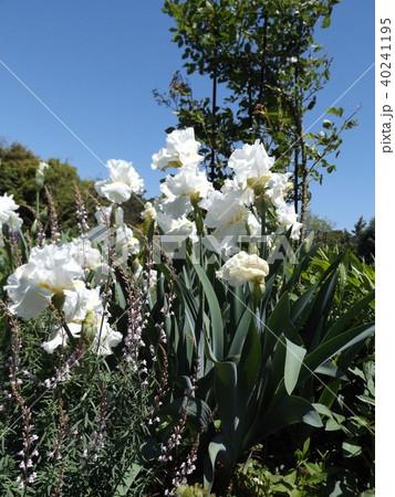 白色の大きな花はジャーマンアイリスの花 40241195