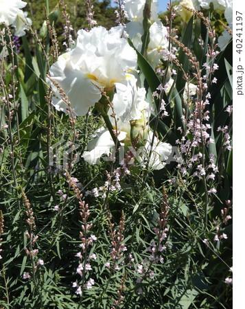 白色の大きな花はジャーマンアイリスの花 40241197