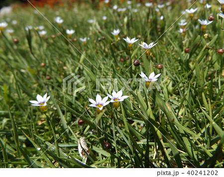 一際目立つ薄紫色の小さな花はニワゼキショウ 40241202
