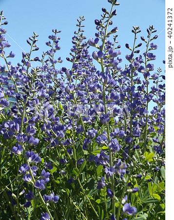 ムラサキセンダイハギの青紫色の綺麗な花 40241372