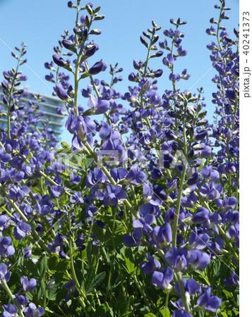 ムラサキセンダイハギの青紫色の綺麗な花 40241373