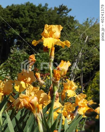 黄色の大きな花はジャーマンアイリスの花 40241379