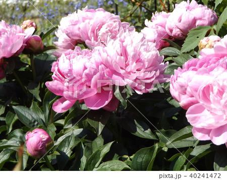 桃色のゴージャスな花シャクヤク 40241472