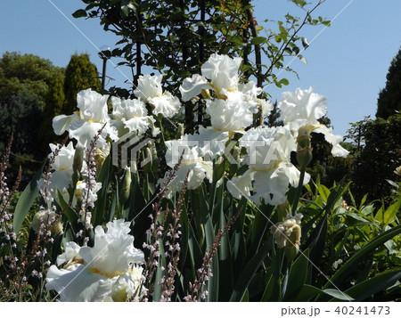白色の大きな花はジャーマンアイリスの花 40241473