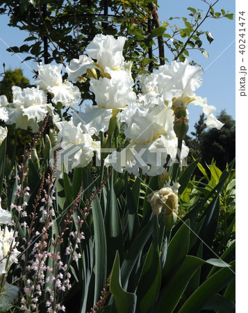 白色の大きな花はジャーマンアイリスの花 40241474