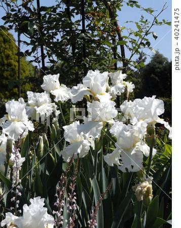 白色の大きな花はジャーマンアイリスの花 40241475