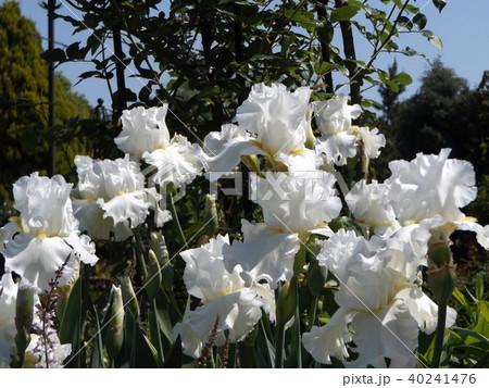 白色の大きな花はジャーマンアイリスの花 40241476