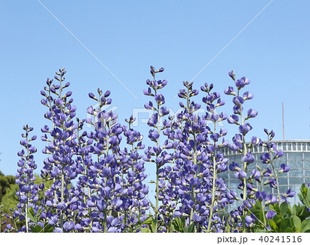 ムラサキセンダイハギの青紫色の綺麗な花 40241516
