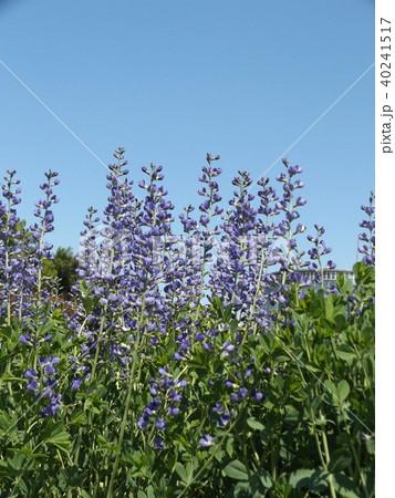 ムラサキセンダイハギの青紫色の綺麗な花 40241517