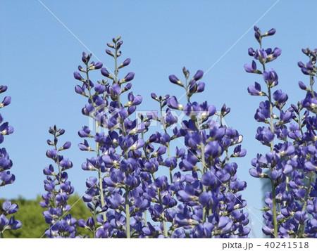 ムラサキセンダイハギの青紫色の綺麗な花 40241518