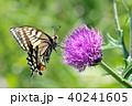蝶 キアゲハ 昆虫の写真 40241605