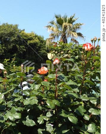 桃色の中輪のバラとヤシノキ 40241825