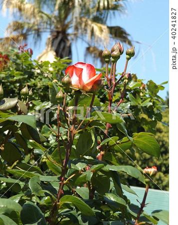 桃色の中輪のバラとヤシノキ 40241827