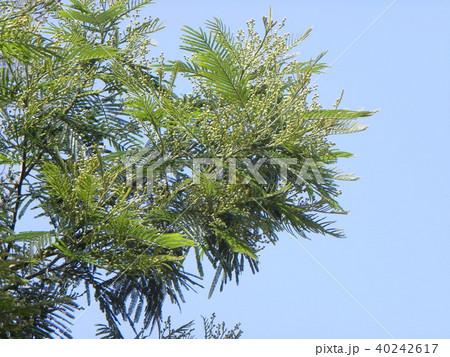 若葉の綺麗なモリシマアカシア 40242617