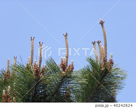 黒松のリャマの頭ような雌花 40242624