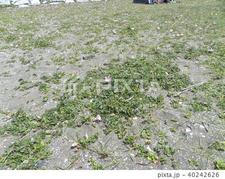 検見川浜の綺麗に咲いたハマヒルガオ 40242626