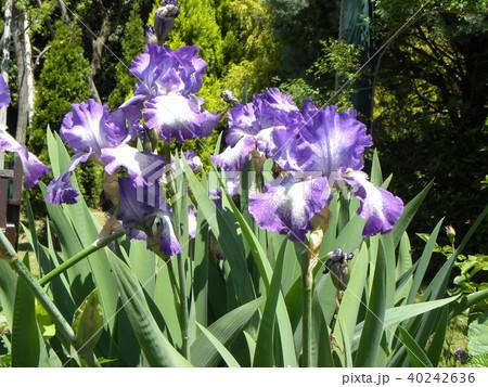 青色と空色のジャーマンアイリスの花 40242636