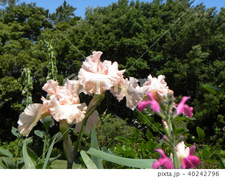 白色のジャーマンアイリスの花 40242796