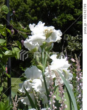 白色のジャーマンアイリスの花 40242799