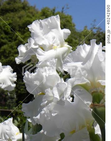 白色のジャーマンアイリスの花 40242800