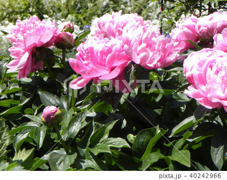 桃色のゴージャスな花シャクヤク 40242966