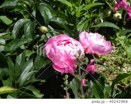 桃色のゴージャスな花シャクヤク 40242968