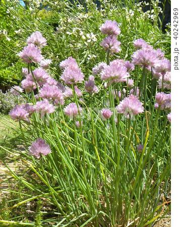 ポンポン咲きのチャイブの桃色の花 40242969