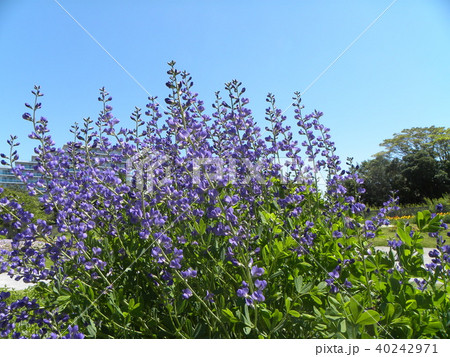 ムラサキセンダイハギの青紫色の綺麗な花 40242971