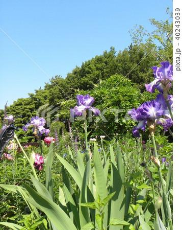 青色と空色のジャーマンアイリスの花 40243039