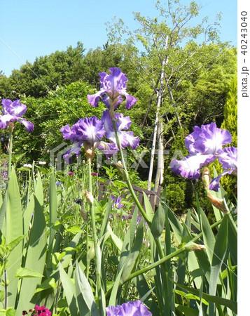 青色と空色のジャーマンアイリスの花 40243040