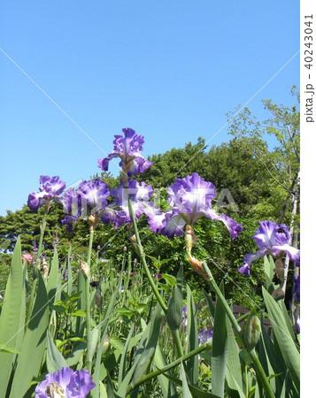 青色と空色のジャーマンアイリスの花 40243041