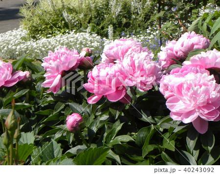 桃色のゴージャスな花シャクヤク 40243092