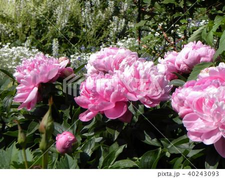 桃色のゴージャスな花シャクヤク 40243093