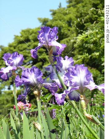青色と空色のジャーマンアイリスの花 40243211