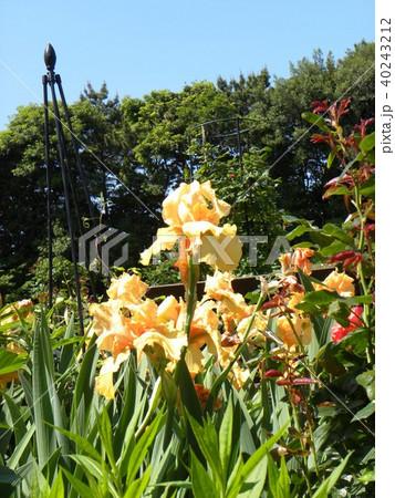 オレンジ色のジャーマンアイリスの花 40243212