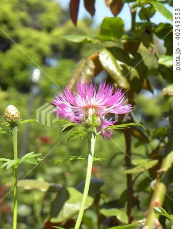 セントーレの一種の桃色の花 40243553